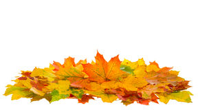 红色的秋天和在白色隔绝的黄色槭树叶子 免版税库存图片