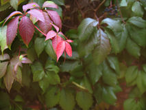 红色的秋天,绿色葡萄离开背景 图库摄影