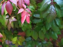 红色的秋天,绿色葡萄离开背景 免版税库存照片