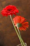 红色的翠菊 库存图片