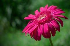 紫红色的花 免版税库存照片