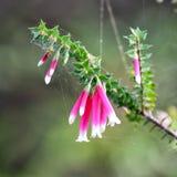 紫红色的荒地(Epacris longiflora) 图库摄影