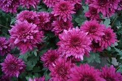红色的菊花 免版税库存照片