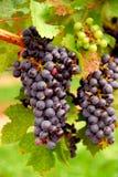 红色的葡萄 免版税库存照片