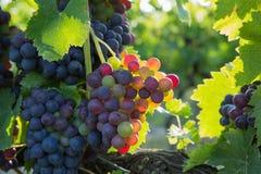 红色的葡萄 免版税图库摄影