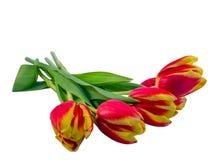 红色的郁金香和黄色说谎在白色背景 免版税库存照片