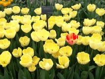 红色的郁金香黄色和 库存照片