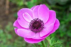 紫红色的银莲花属 库存照片