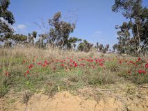 红色的银莲花属 免版税库存照片