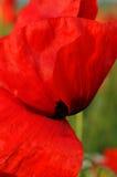 红色的鸦片 免版税库存图片