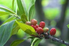 红色的berryes 免版税库存照片