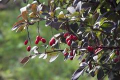 红色的berrys 库存照片
