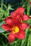 红色的daylilies 免版税库存图片