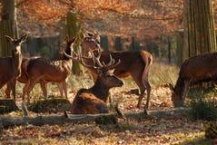 红色的deers 免版税库存图片