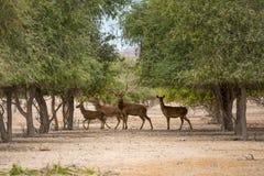 红色的deers 库存照片