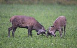 红色的deers 免版税图库摄影