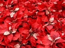 红色的poinsettas 库存图片