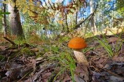 红色盖帽蘑菇 免版税库存图片