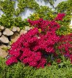 红色盛大的杜娟花和波士顿常春藤 免版税图库摄影