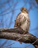 红色盯梢了在树栖息的鹰 免版税库存图片
