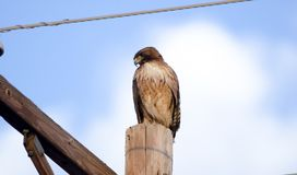 红色盯梢了在电线杆,图森亚利桑那沙漠的鹰 库存照片