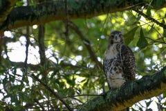 红色盯梢了在邻里树栖息的鹰 图库摄影