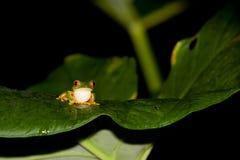 红色眼睛雨蛙 图库摄影