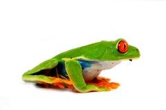 红色眼睛青蛙 免版税库存图片