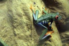 红色眼睛青蛙Agalychnis callidryas 免版税图库摄影
