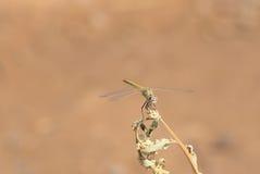 红色眼睛蜻蜓 免版税库存照片