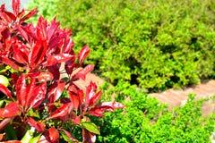 红色知更鸟(光叶石楠fraseri)树篱植物 库存图片