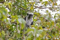 红色短尾猴在Jozani森林,桑给巴尔,坦桑尼亚里 免版税图库摄影