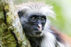 红色短尾猴在Jozani森林,桑给巴尔,坦桑尼亚里 免版税库存图片