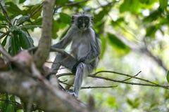红色短尾猴在Jozani森林,桑给巴尔,坦桑尼亚里 图库摄影
