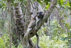 红色短尾猴在Jozani森林,桑给巴尔,坦桑尼亚里 免版税库存照片