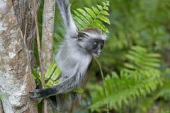 红色短尾猴, Jozani森林,桑给巴尔,坦桑尼亚 免版税库存图片