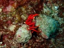 红色礁石寄居蟹联接 库存照片