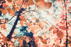 红色秋叶和阳光背景 免版税库存照片