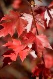 红色秋叶的槭树 图库摄影