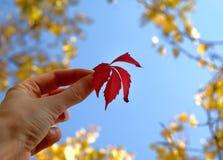 红色秋天叶子在黄色树和蓝天背景的一只手上 图库摄影