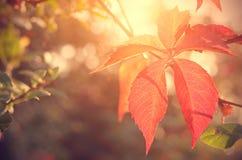红色秋天叶子特写镜头照片  图库摄影