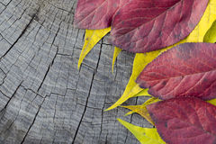 红色秋天叶子 免版税图库摄影