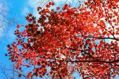 红色秋天在日本 免版税库存图片