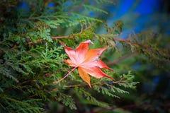红色秋天在日本 免版税库存照片