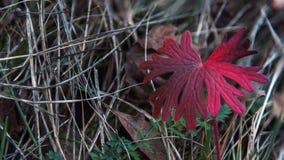 红色秋天明亮的叶子特写镜头 免版税库存图片