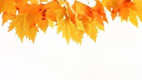 红色秋天槭树叶子 股票录像
