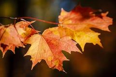 红色秋天槭树叶子 库存图片
