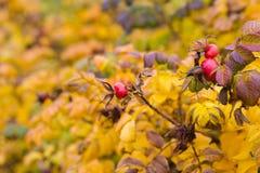 红色秋天浆果 库存图片
