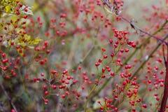 红色秋天浆果 免版税图库摄影
