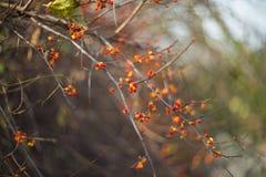 红色秋天浆果 库存照片